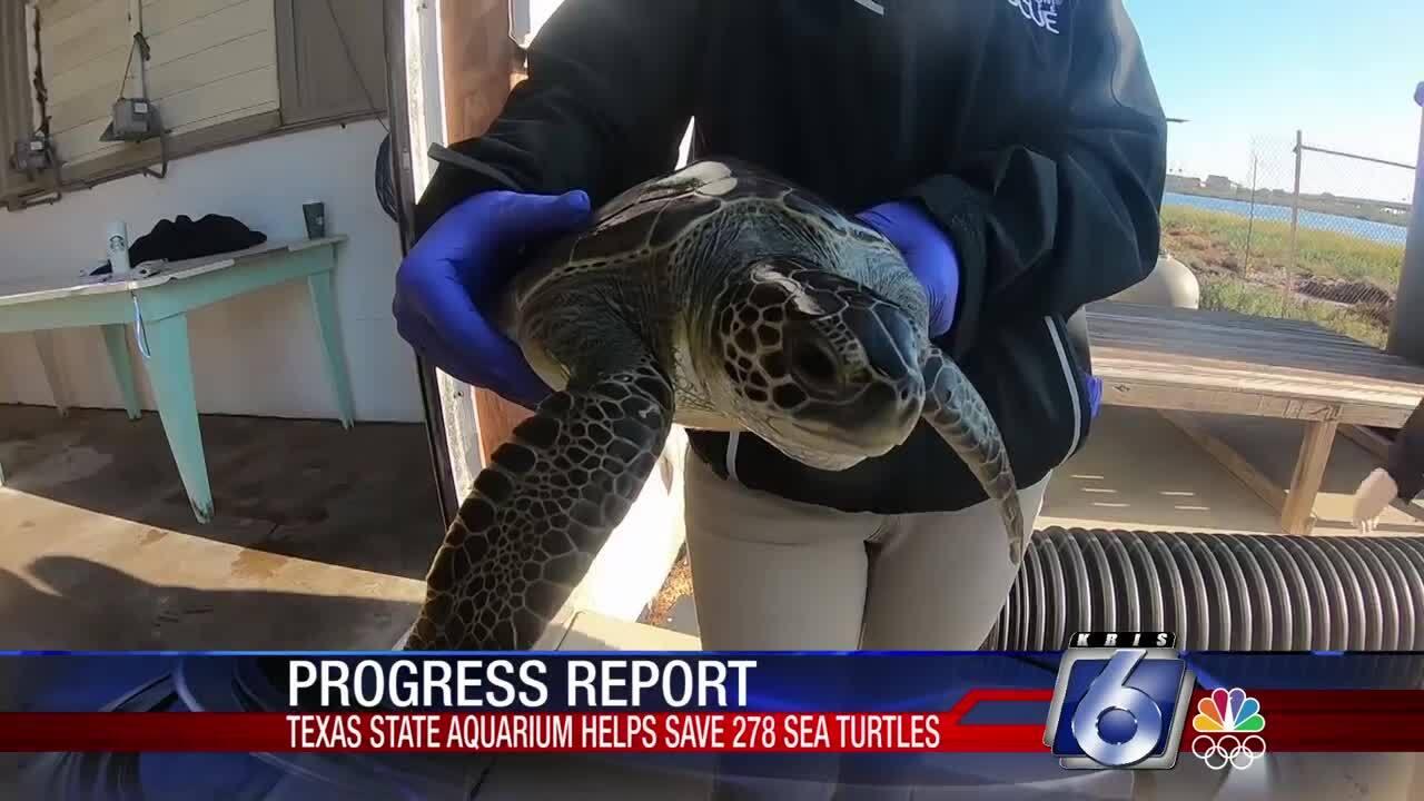 Texas State Aquarium sea turtle rescue
