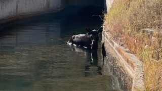 Moose stuck in diversion dam at Mountain Dell Golf Course