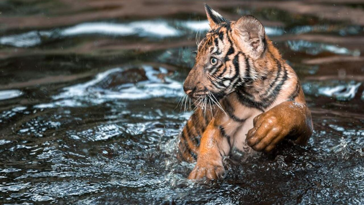 The male Malayan tiger cub (with trident marking) loves to swim in the river in Tiger River habitat at Palm Beach Zoo.