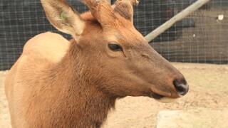 sweet_elk.jpg
