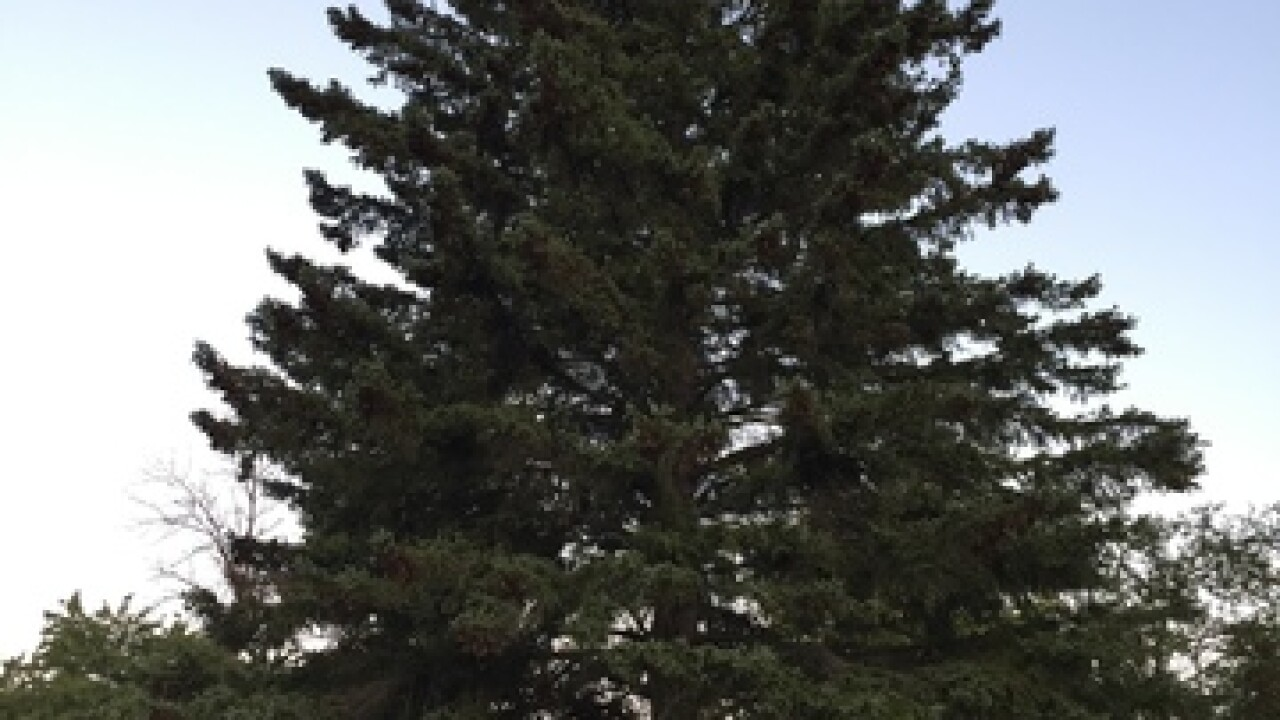 Couple from Alpena donates spruce as the official 2018 state Christmas tree