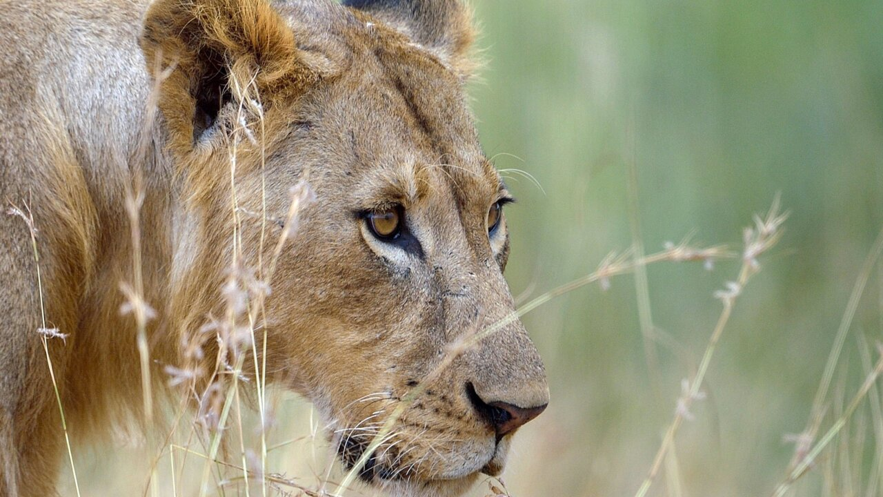 Approval of lion trophy reignites trophy hunting debate
