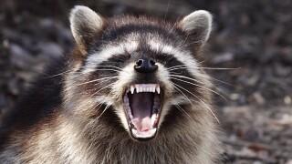 Poquoson raccoon tests positive forrabies