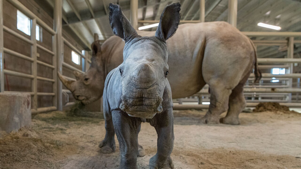 Southern White Rhino Calf Conceived Through Artificial Insemination Bonding Well with Its Mother at San Diego Zoo Safari Park  A 4-day-old female southern white rhino calf poses for the camera at the Nikita Kahn Rhino Rescue Center at the San Diego Zoo S
