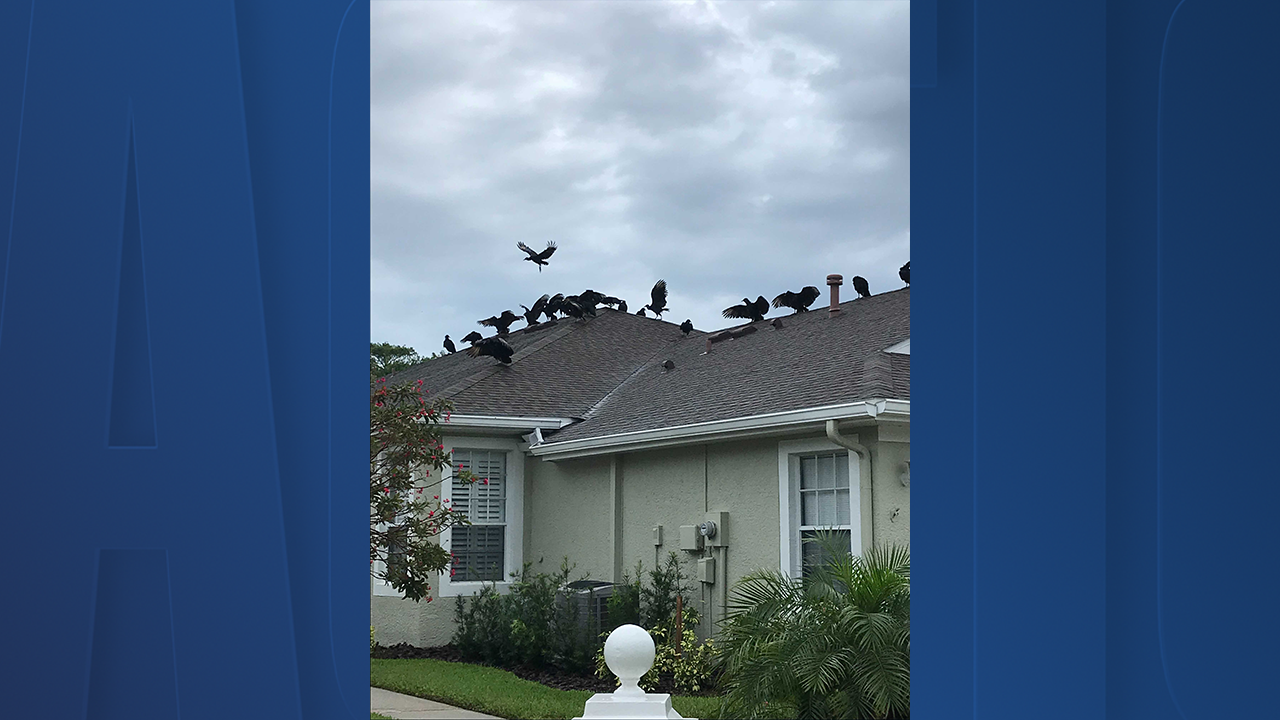 Vultures on house
