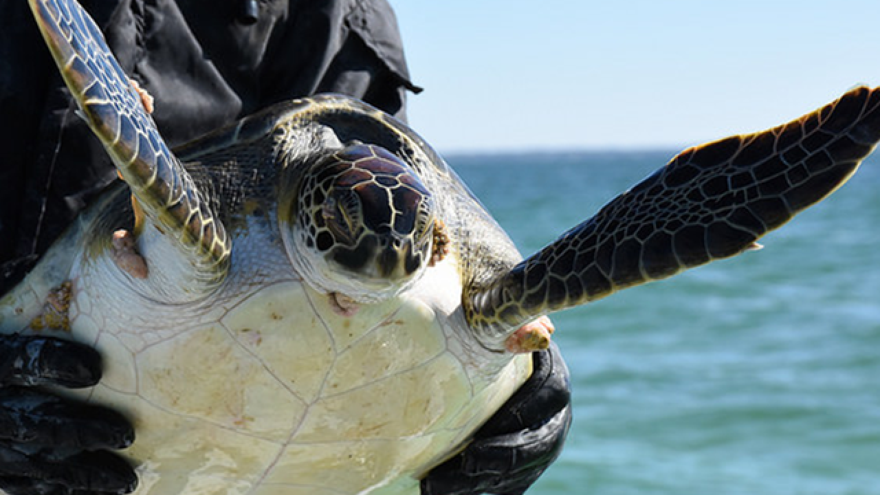FWC rescues more than 100 cold-stunned turtles