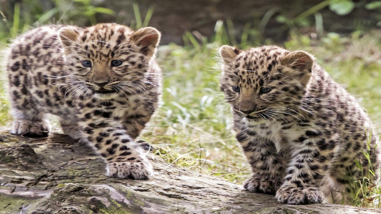 Baby leopard cubs make zoo debut