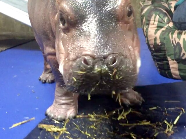 Get your Fiona fix and check out the zoo's baby hippo photos