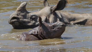 Greater one-horned rhino Asha, with her male calf, Arjun, at the San Diego Zoo Safari Park