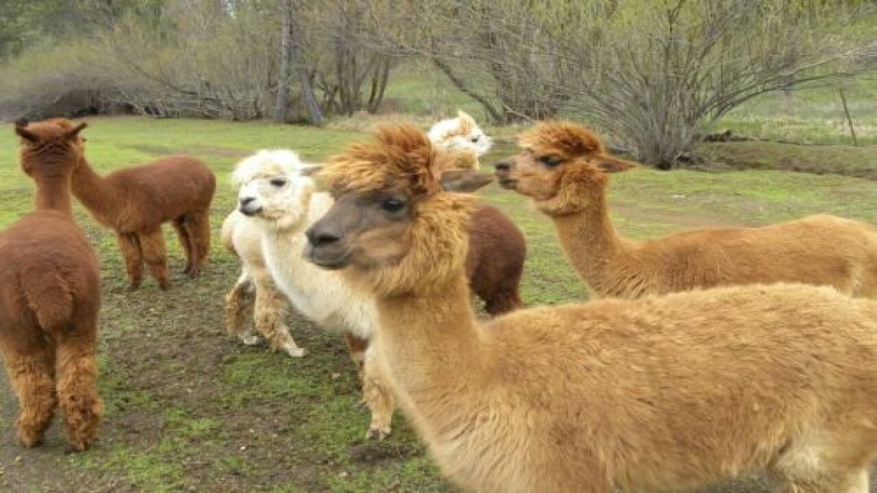 You Can Stay On This Alpaca Ranch In California For $74 A Night