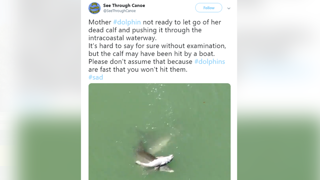 Heartbreaking video shows dolphin mom carrying dead calf