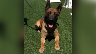 Fort Collins Police K9 Ivo