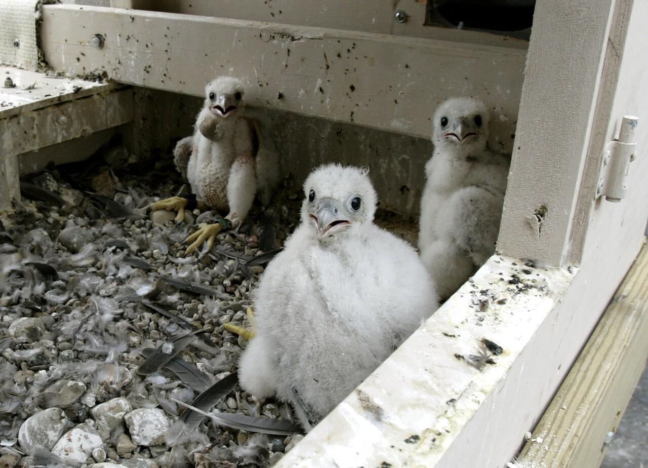 bird raptor peregrine falcon juvenile nest daniel .jpg