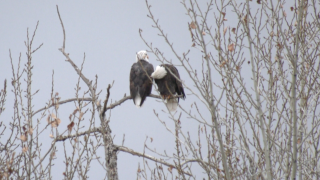 FWP investigating death of multiple eagles in Bozeman