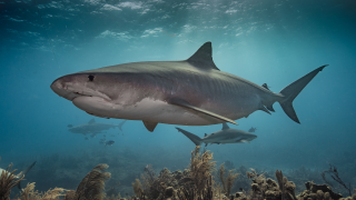 File photo of a tiger shark