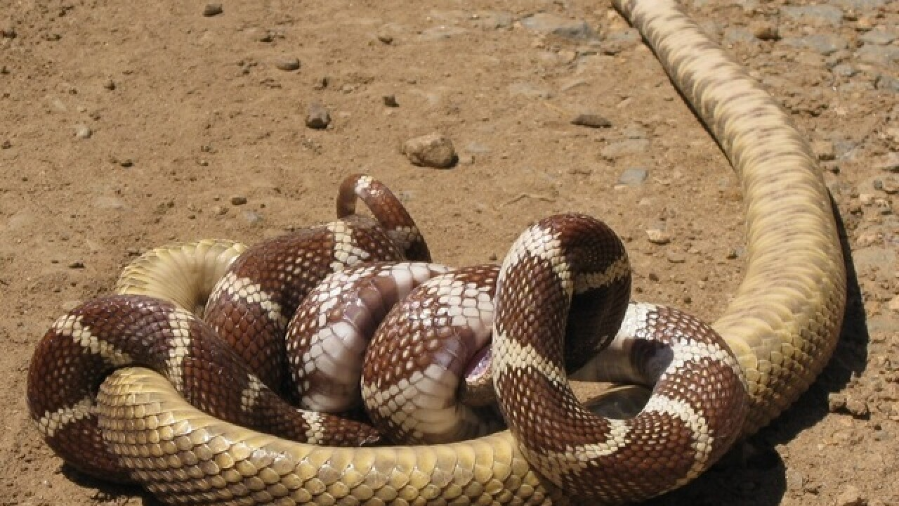 YIKES! 7 reasons to fear non-venomous snakes