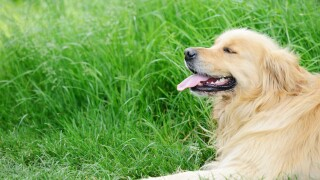 Woman's obituary for her beloved golden retriever goes viral