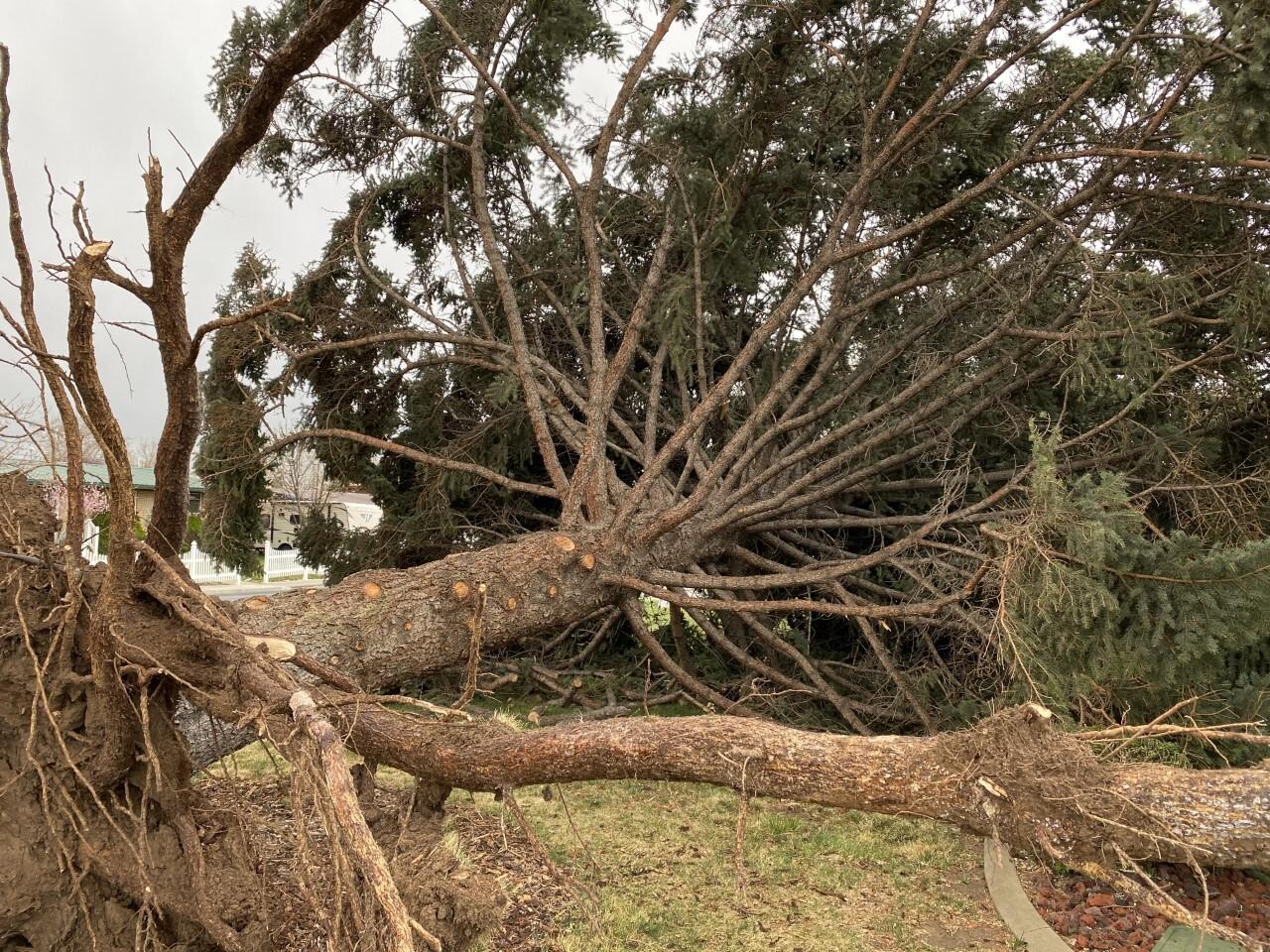 Orem Legecay Spruce (3).jpg