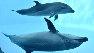 Scientists have found that common bottlenose dolphins show a preference for their right side when it comes to foraging for food on the seabed.