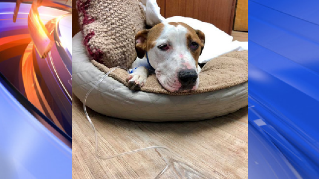 Dog found shot in face in Virginia Beach returns to animal clinic with infection