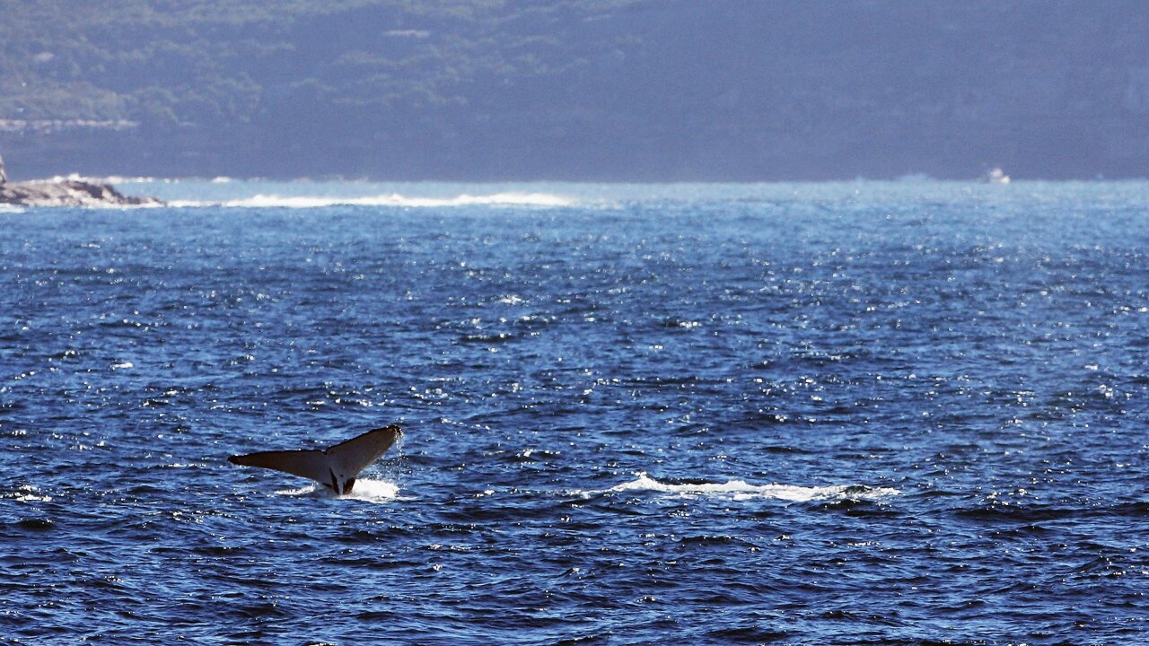 Japan to resume commercial whaling, but not in the Antarctic
