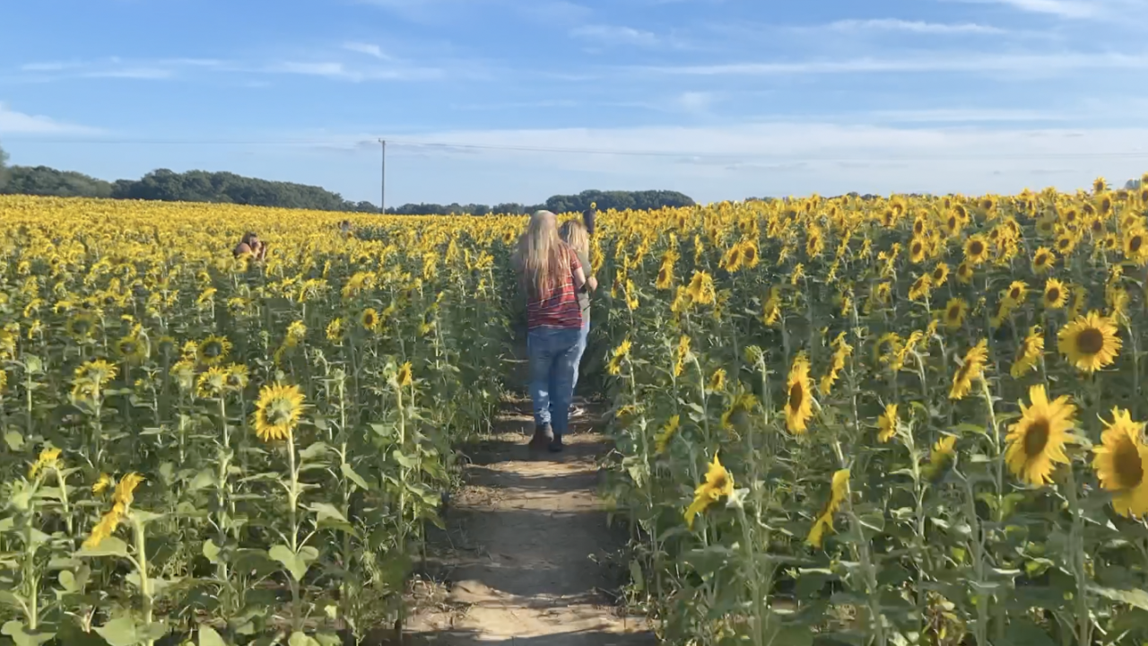 Walking through the sunflowers