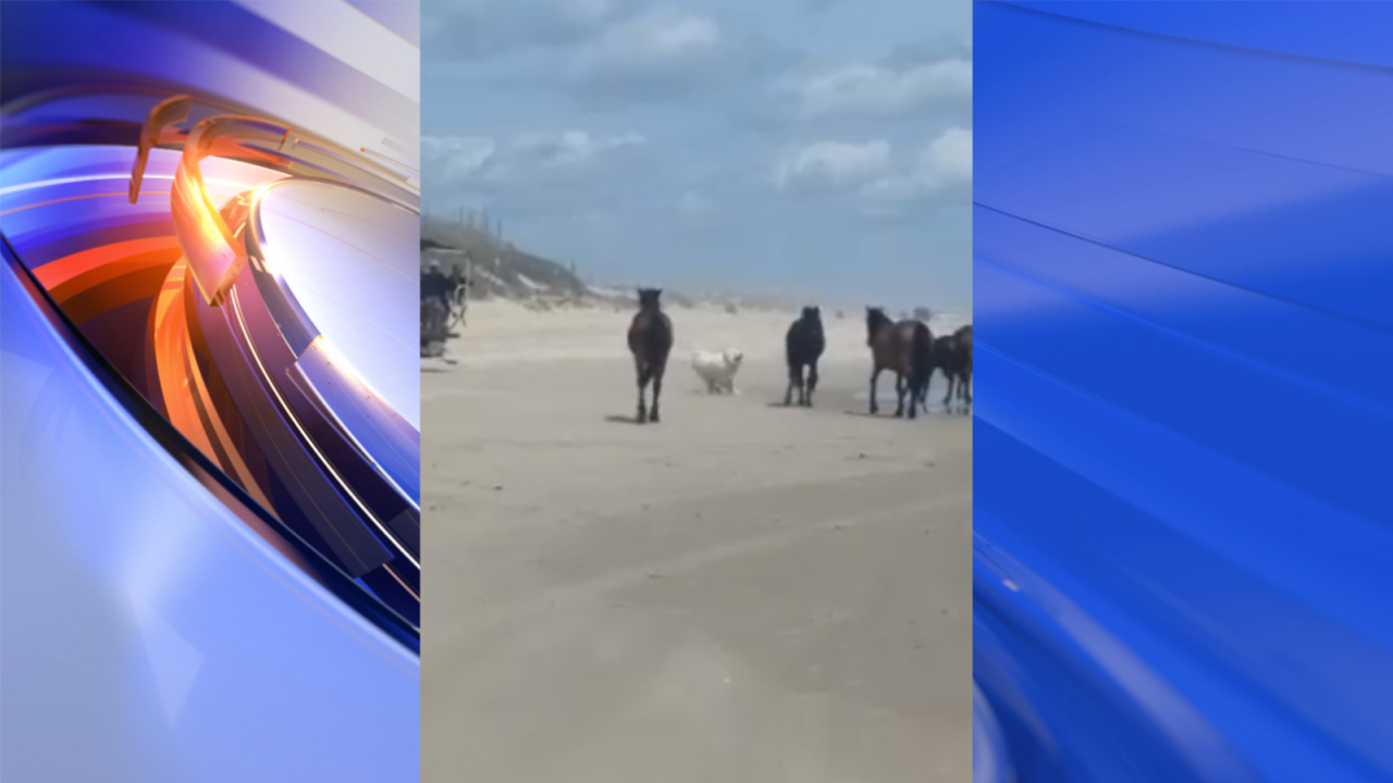 Outer Banks' wild horses being chased, harassed by off-leash dogs