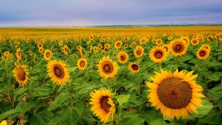 Sheriff's office: Farmers say visitors of sunflower fields are illegally walking, driving into fields