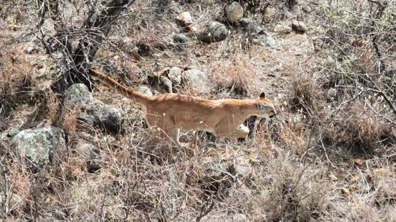 Pima Canyon Trail reopened after mountain lion incident