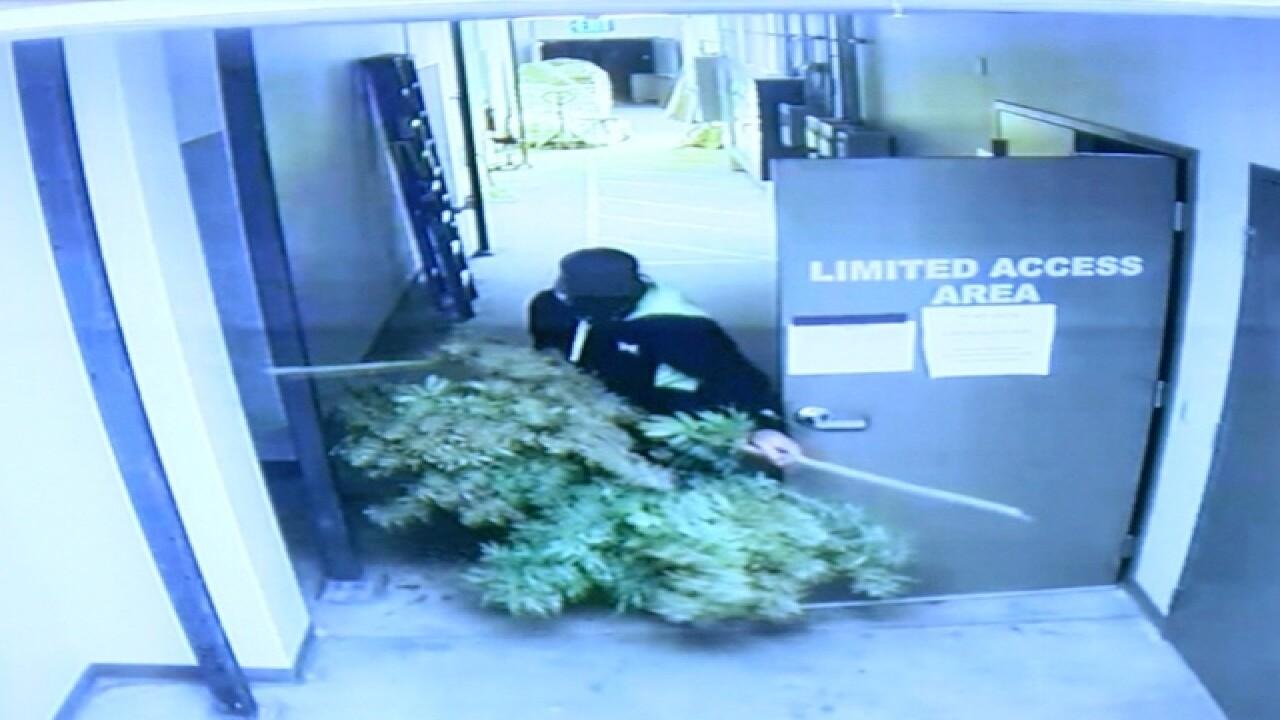 Denver marijuana grow hit by burglars twice