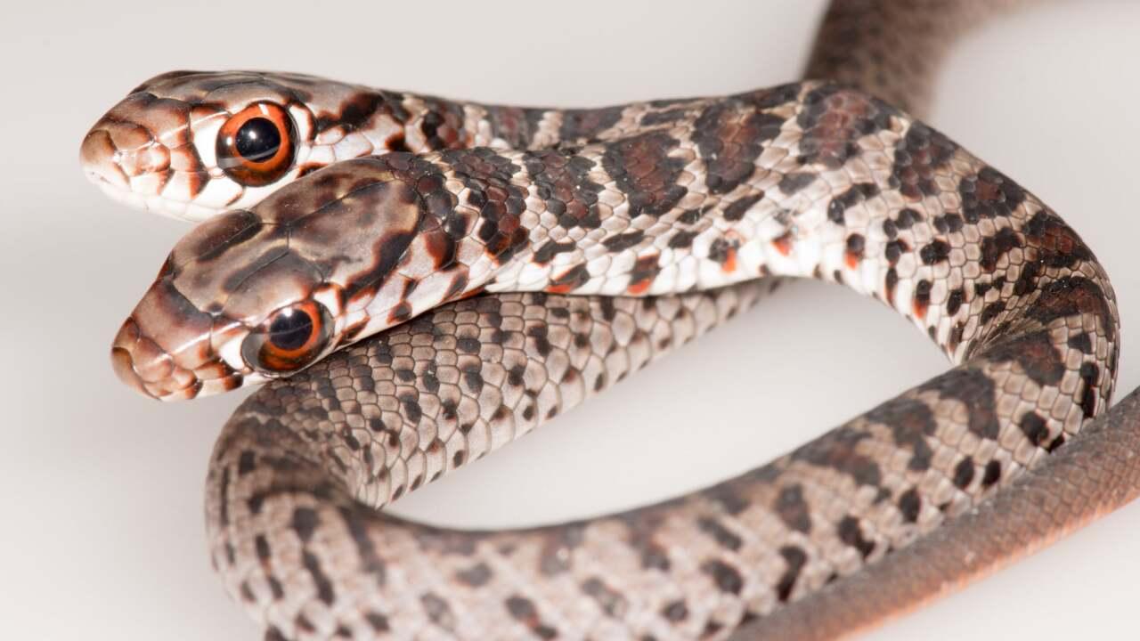 2 headed snake.jpg
