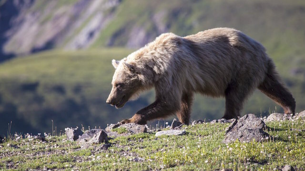 A hunter in Alaska was hospitalized after the bear he shot rolled on top of him