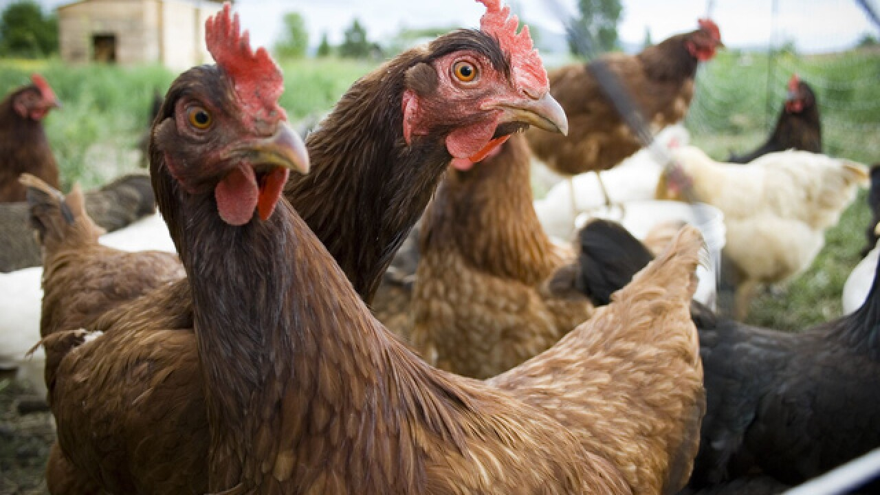 CDC: Do not dress up pet chickens for Halloween