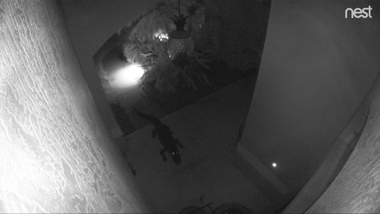 Video Gator Gets Tangled In Furniture Outside Bradenton Home