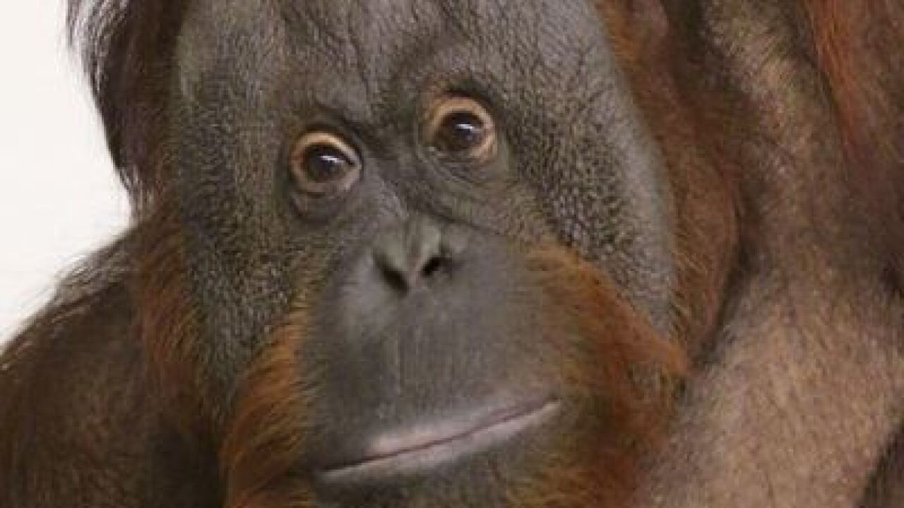 Indy Zoo welcomes Orangutan mom, baby