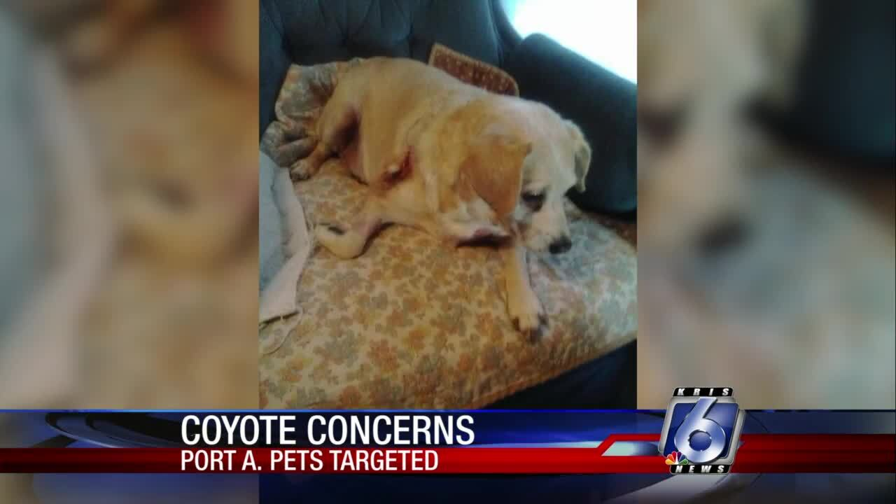 Port Aransas residents concerned about safety amid reported coyote sightings