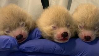 John Ball Zoo welcomes 3 red panda cubs