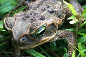 bufo-toad.png