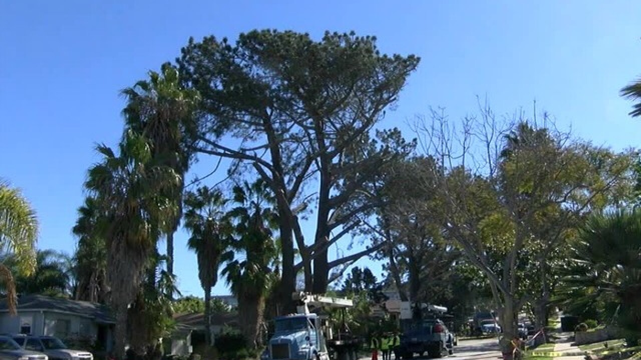 75-foot Torrey pines being cut down in OB