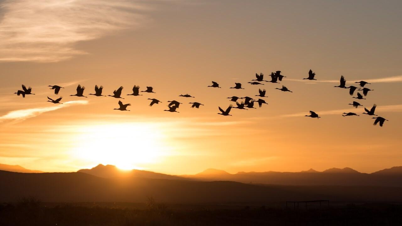 Sandhill Cranes in flight courtesy Homer Hansen