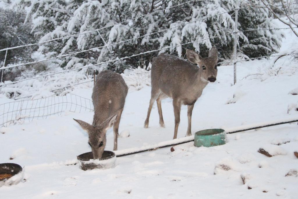 deer in snow -Guy Edgerly.jpg
