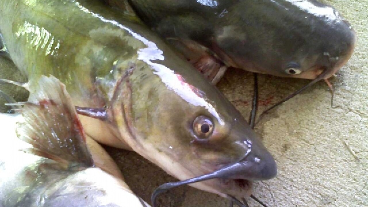 Catfish falls from sky, hits woman on head