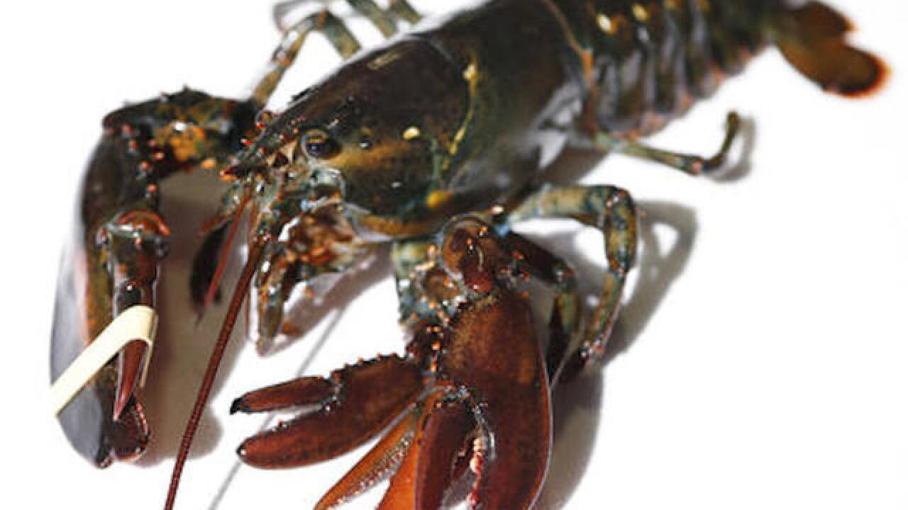 Maine wholesaler acquires rare 4-clawed lobster