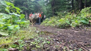 Isle Royale wolves trail camera