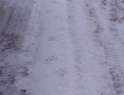 Cougar sighting - Feb 19 2020.jpg