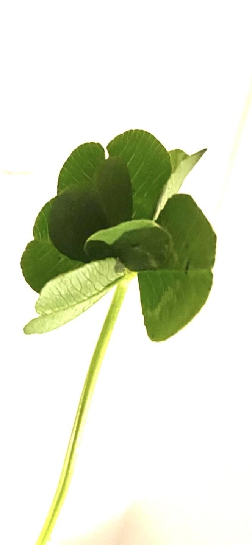 clover 7 leaf.jpg
