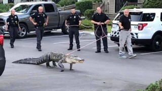 Residents were alarmed Friday when a 9-foot alligator tried to gain access to their community pool in Pinellas County on Friday.