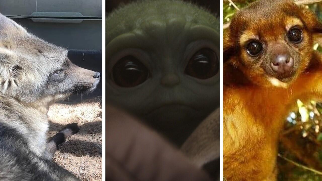 wild wonders animals baby yoda voice the mandalorian.jpg
