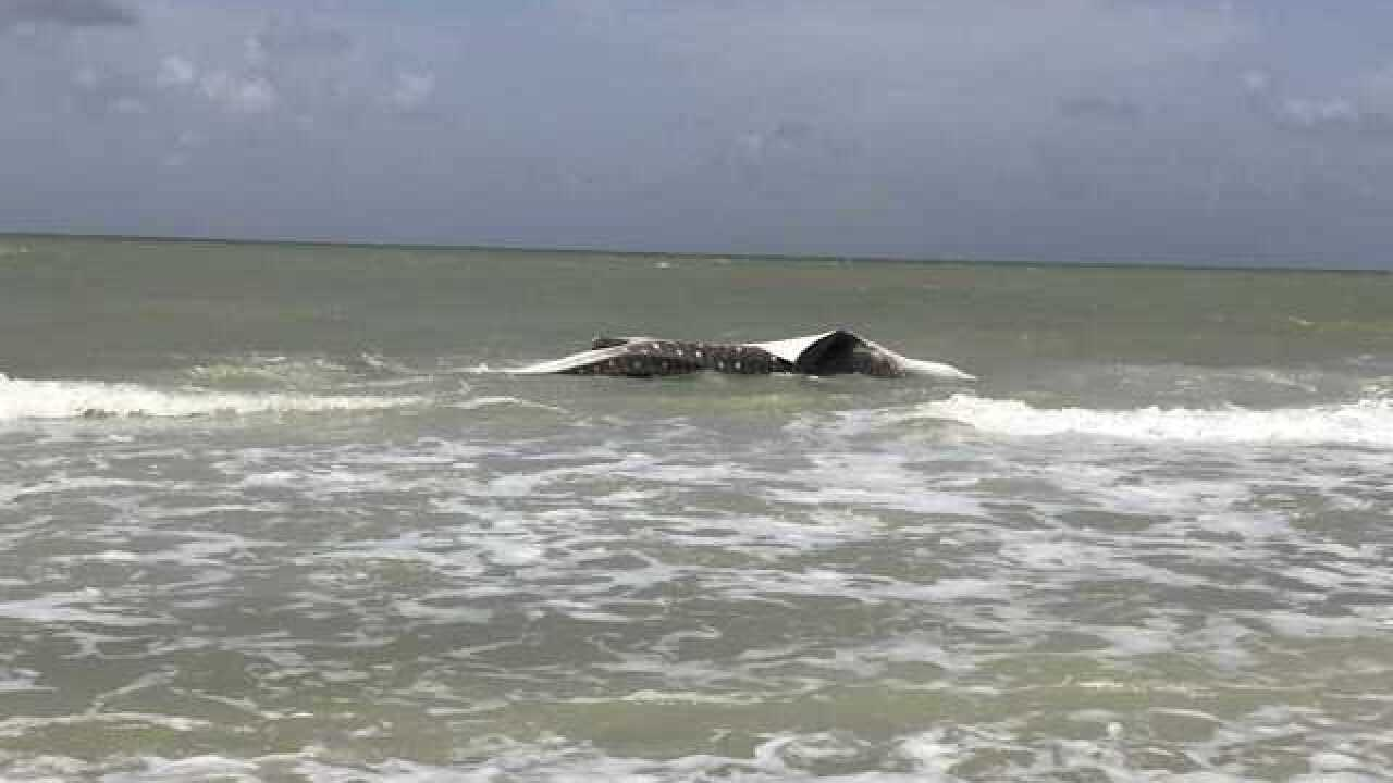 Whale Shark spotted in Sanibel Island on Sunday