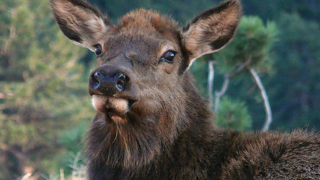 elk_cow_cpw.png